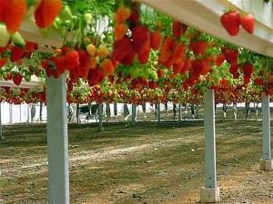 Как выращивают клубнику в Израиле